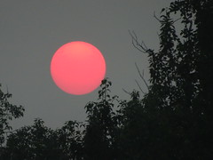 Eerie beauty of last night's smoky sunset (peggyhr) Tags: peggyhr sun silhouettes trees closeup sunset smokysky dsc03631 bluebirdestates alberta canada carolinasfarmfriends