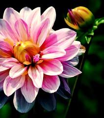 Pink Sun (barbara_donders) Tags: roze bloemknop bloem flowerhead flower dahlia nature natuur prachtig beauty beautifull magical mooi summer zomer