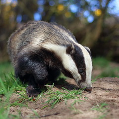 Brock the Forager (blootoonloon1( No to Badger Cull)) Tags: badger melesmeles nature animal wildlife scotland aberdeenshire day colours