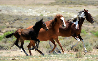 WILD MARES ON THE MOVE ...