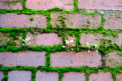 Mosswall (Jeremy Brooks) Tags: alley brick california moss nature petaluma plants sonomacounty usa wall camera:make=fuji camera:make=fujifilm camera:model=xt2