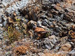 Flora, Fauna u Gestein auf den Höhen der Ponta de São Lourenço - 13 (mohnblume2013) Tags: madeira falke pontadesaodelourenco echse vogel