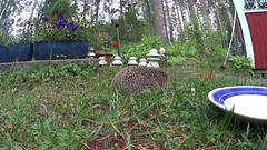 Hedgehogs fighting and drinking and squirrel just eating all the time (talaakso) Tags: hedgehog siili siilivideo fighting fightinghedgehogs tappelevatsiilit sonyfdrx1000v sonyactioncamera sciurusvulgaris erinaceuseuropaeus homevideo kotivideo video educationalvideo opetusvideo creativecommons attribution hyvinkää finland talaakso terolaakso animalplanetchannel