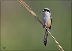 Shrike. (Arshad Aashraf) Tags: nature naturelover birds birdsofpakistan arshadashraf life bokeh wildlife nikon nikond5 nikon600mm animalphotography