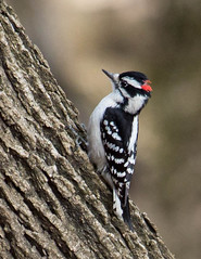 hairy woodpecker (Douglas M. Winn) Tags: woodpecker hairy