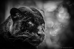 Black panther (fabakira) Tags: fabakira fabakiraphotography fabakiraphotography2017 nikon d7000 nikkor nikkor200500 blackpanther panthère noire noirblanc monochrome félins prédateur bokeh zooparcdebeauval zooparc zoo beauval loiretcher regard wildlife animal mammifère nikonartists nikonphotographers bwworldwithnikon