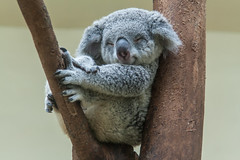 koala smiling, resting and sleeping on his tree (arnaud_martinez) Tags: animal animalsandpets australia balance bear claw comfortable copyspace couchpotato cute effort eucalyptus fur gripping hanging harmony horizontal koala laziness leisureactivity marsupial napping nopeople oneanimal oneonly perching relaxation resting serenepeople sleeping smiling softness tired tree uncertainty vertical wildlife younganimal beautyinnature portrait