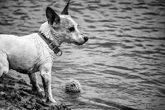 Dog (Jorisvanstaveren) Tags: dog animal black white blackandwhite canon 1300d sand lake