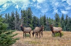 Rocky Mountain Elk (Philip Kuntz) Tags: elk rockymountainelk wapiti cervuscanadensisnelsoni mtrundle banff banffnationalpark wildlife