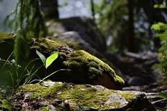 Secret (Jennaps) Tags: nikon d5300 photography colour colours outdoors light nature green moss forest sunlight