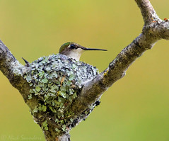Ruby-throated Hummingbird (Nick Saunders) Tags: rubythroatedhummingbird ruby throated hummingbird nest nesting tree woodland wood female tiny lichen cobwebs spiderweb saskatchewan canada breeding young