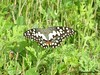 Butterfly2 (Greencraftingkid) Tags: birding butterflies naturewalk familytime himayatsagar