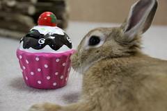 Ichigo san 798 (Ichigo Miyama) Tags: いちごさん。うさぎ ichigo san rabbitbunny netherlanddwarf brown ネザーランドドワーフ ペット いちご うさぎ rabbit