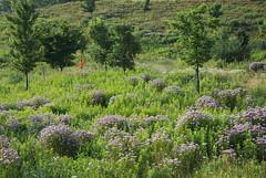 Jogger (eddee) Tags: wisconsin wauwatosa milwaukeecounty countygrounds detentionbasin urban nature environment landscape wildflowers flowers trees jogger jogging bergamot beebalm