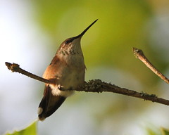 Resting.....  :) (Paridae) Tags: hummingbird rufoushummingbird femalerufoushummingbird selasphorusrufus familytrochilidae dappledlight thingswithwings featheredfriends afewofmyfavouritethings canoneos7d peace
