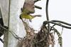 9K0A1488 Social Flycatcher, Myiozetetes similis. (jwsteffelaar) Tags: myiozetetessimilis socialflycatcher taxonomy:binomial=myiozetetessimilis