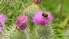 early bumblebee Bombus pratorum  on spear thistle (BSCG (Badenoch and Strathspey Conservation Group)) Tags: acm hymenoptera cirsium bombus