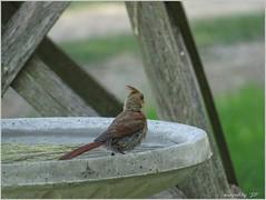 New Bird Bath (Snapped by JD) Tags: birdbath sparrow cardinal