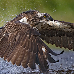 "Water off an Osprey's back... (coopsphotomad) Tags: osprey bird avian ""bird prey"" animal wildlife nature wild remote migrant water fish fisherman scotland spray bokeh flight portrait canon 1dx 500mm f4"