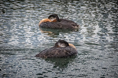 Synchronized Sleep-Swimming (KWPashuk) Tags: nikon d7200 sigma18250mmdcmacro lightroom kwpashuk kevinpashuk bird grebe redneckedgrebe swilmming sleeping floating animal nature outdoors water harbour bronte oakville ontario canada