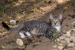 New friend (forum.linvoyage.com) Tags: кот котенок kitten kitty cat animal phuket thailand пхукет таиланд тайланд улица street