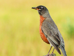 American Robin with food for his babies (annkelliott) Tags: alberta canada swofcalgary nature ornithology avian bird birds robin americanrobin turdusmigratorius songbird male largestnorthamericanthrush thrush migratory perched sideview insectsforhisbabies fencepost field bokeh outdoor summer 20july2017 fz200 fz2004 annkelliott anneelliott ©anneelliott2017 ©allrightsreserved beautifulexpression