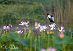 pheasant tailed jacana (TARIQ HAMEED SULEMANI) Tags: sulemani supershot sensational summer tariq trekking tourism tariqhameedsulemani travel birds bloom nature