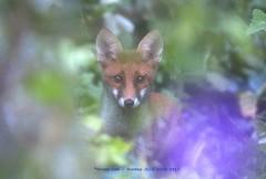 Waiting..... (law_keven) Tags: fox foxes animals vulpes vulpesvulpes catford london england uk mammals wildlife wildlifephotography