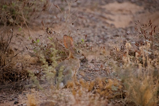 Sylvilagus audubonii - The Desert Cottontail