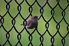 Perfect perch (marensr) Tags: fence link chain bird preserve nature ridge west platensis cistothorus wren sedge