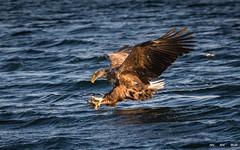 Havørn-0555 (jarud) Tags: 2017 eagle fugl havørn naturopplevelser norge norway smøla whitetailed ørn