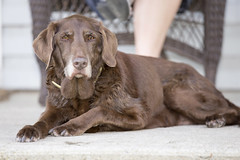 Tia (stephenisabellemaggie) Tags: dog dogexpressions olddog canon6d canon70200f28lisiiusm cottagelife chocolatelabrador