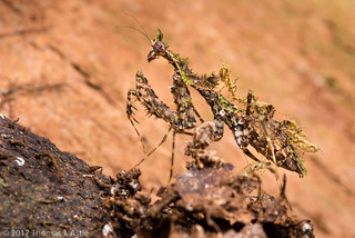 Moss Mantis With Babies