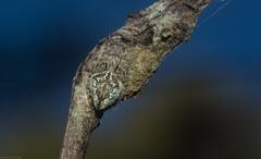 Araneid (dustaway) Tags: arthropoda arachnida araneae araneomorphae araneidae araneinae orbweaver crypsis camouflage australianspiders australianwildlife nature natur spinne araignee tullera northernrivers nsw australia tullerapark