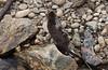 American Mink with Golden-mantled Ground Squirrel prey (avesjohn) Tags: mink goldenmantledgroundsquirrel