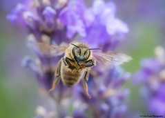 To Infinity and Beyond (Colin_Evans) Tags: flower lavender plant lavandula macro insect flight flying surrey lavenderfarm england