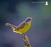 Social Flycatcher (MartinJonesPhotgraphy) Tags: brazil landscapes nature birds neotropical rainforest scenery socialflycatcher regua