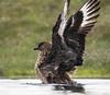 Bonxie, Hermaness, Unst, Shetland (conrad_hanchett) Tags: greatskua hermaness unst shetland shetlandislands nikon sigma bonxie