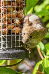 Wood mouse??  Hey...what you lookin at!! (Photo_stream_this) Tags: wood mouse birdhouse peanuts wild life feeder nuts mr jingles garden
