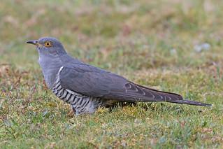 Cuckoo  M