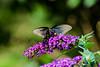 A good relationship is based on transparency... (knoxnc) Tags: butterflybush bokeh wings nikon butterfly d5100 transparency morningsun sunlight closeup blackswallowtailbutterfly specanimal