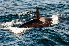 Happy Orca playing with seaweed (ferglandfoto) Tags: nd45421 orca killerwhale orcinusorca whale whalewatching whalephotography ocean nature naturepicture naturepic natureshot naturephotography wildlife wildlifepic wildlifephotography