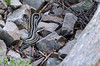 Eastern Garter Snakes (Ramblings From The 4th Concession) Tags: panasonicfz1000 snakes ontarioprovincialparks provincialparks gartersnakes inverhuronprovincialpark