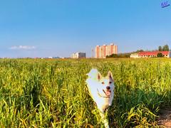 Зверушки 0385 (2016.05.21) (vladsky78) Tags: ильичёвск небо животные зелень поле собака