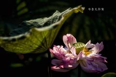 D66_9933 (brook1979) Tags: 台北市 植物園 荷 蓮 荷花 蓮花 葉 花 lotus flower