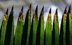 Razor sharp leaves (Andreas Mezger - Art Photography) Tags: leaves sharp teeth green nature brutal dangerous yellow