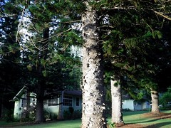 Pine trees in Lanai City (thomasgorman1) Tags: tree trees pinetrees lanai island hawaii fujifilm outdoors town needles house yard