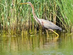 Héron pourpré 06 (jean-daniel david) Tags: oiseau oiseaudeau eau étang héron héronpourpré nature réservenaturelle lac lacdeneuchâtel roseau