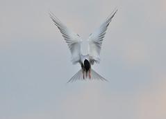Common Tern (Gary Vause) Tags: commontern staidans staidansrspb rspb sternahirundo yorkshire wildlife birdinflight garyvause