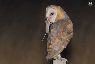 Natural feeding and 100% in wild! :) Coruja-das-torres, Barn Owl (Tyto alba)